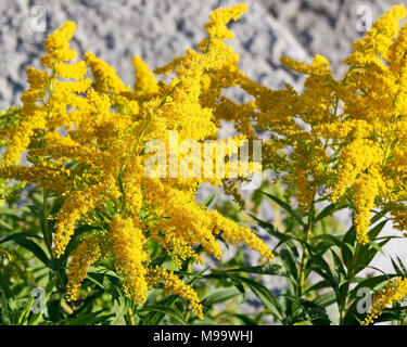 Close up of the tiny delicate flowers of the Goldenrod plant - Stock Photo