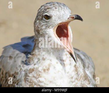 Seagull squawking very loud with its beak wide open - Stock Photo