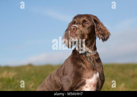 A dog portrait of a pedigree chocolate brown working cockers spaniel head and shoulders outdoor portrait with blue sky background - Stock Photo