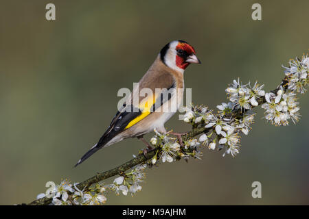 European Goldfinch perched on flowering hawthorn - Stock Photo