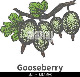 Vector hand-drawn bunch ripe green gooseberry - Stock Photo
