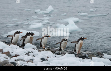 A small group of Gentoo Penguins walking along a shoreline in Antarctica - Stock Photo