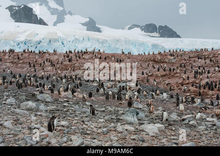 A colony of Gentoo Penguins in Antarctica - Stock Photo