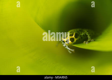 A mimic poison frog (Ranitomeya imitator) in a bromeliad in the Peruvian jungle. - Stock Photo