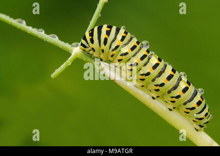 Swallowtail Butterfly Caterpillar feeding on fennel Papilio Machaon gorganus photographed in Pont-Aven, South West Brittany, France - Stock Photo