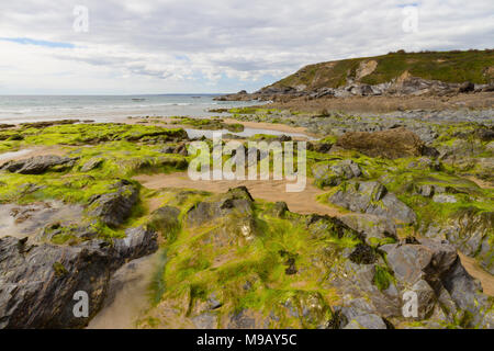 Seaweed on the rocks at Dollar Cove Gunwalloe on the Lizard Coast in Cornwall - Stock Photo