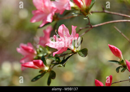 Rhododendron 'Pink Pearl' - Hybrid Azalea - April - Stock Photo