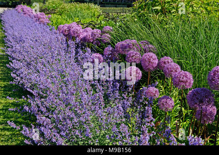 Border with Salvia and Allium - June - Stock Photo