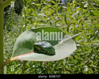 Tree Frog on Common Milkweed - Stock Photo