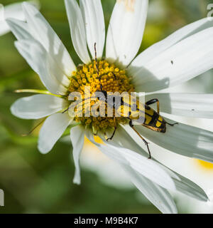 A macro shot of a longhorn beetle sitting on an ox eye daisy. - Stock Photo