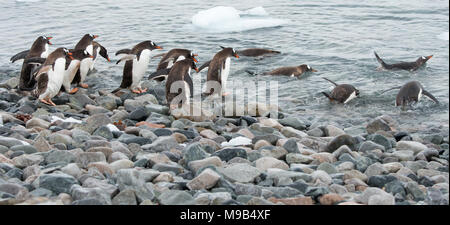 A group of Gentoo Penguins (Pygoscelis papua) make their way into the sea in Antarctica - Stock Photo