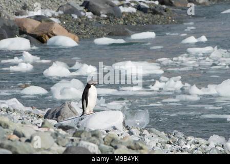 An Adelie Penguin (Pygoscelis adeliae)  standing on a rocky shoreline in Antarctica