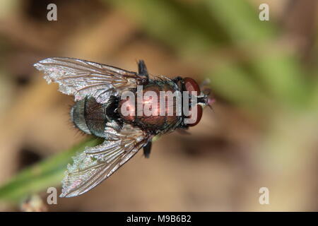 A copper coloured blow fly poses on a stalk to display the wing damage sustained in multiple mating-strikes - Stock Photo