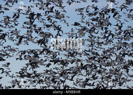 A large flock of snow geese take flight. - Stock Photo