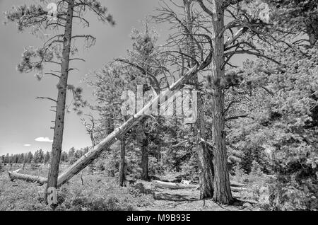 Large dead pine tree resting on tree. Forest path leads under fallen tree with clearing on the left side. - Stock Photo