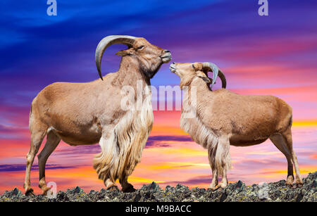 couple of  sheeps  on rock in sunset sky - Stock Photo