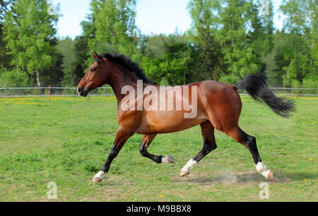 Thoroughbred horse racer runs on a green summer meadow - Stock Photo