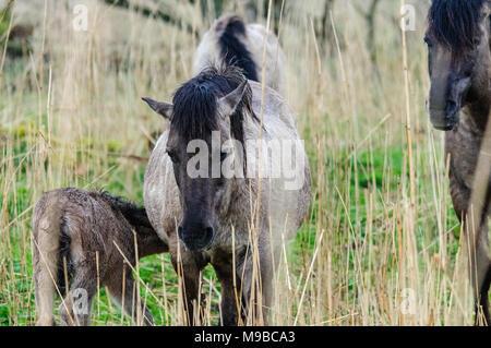 A group of wild Konik Ponies fouraging in the Dutch Nature Reserve Oostvaardersplassen. - Stock Photo