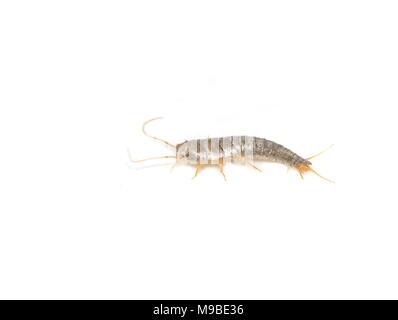 Primitive pest insect silverfish Lepisma saccharina isolated on white background - Stock Photo