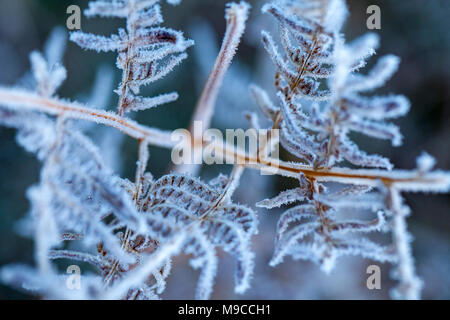 Flintshire, Wales, UK 25th March 2018, UK Weather:  As the clocks spring forward for British Summer Time many parts are waking up to a rather chilly start with freezing temperatures and frost. The detail of a frozen fern leave after an overnight frost on the first day of British Summer Time on Halkyn Mountain, Flintshire © DGDImages/Alamy Live News - Stock Photo