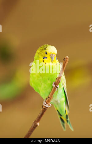A green and yellow parakeet or Australian budgerigar, also known as a budgie (Melopsittacus undulatus), perched on a branch. - Stock Photo