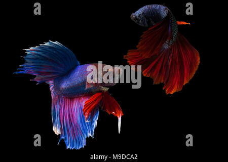 Siamese fighting fish,Half Moon long red tail(HMPK)fighting with blue long tail,Betta splendens isolated on black background. - Stock Photo