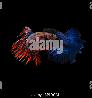 Siamese fighting fish,blue and red crown tail(CTPK) fighting with Haft Moon blue long tail(HMPK),Betta splendens isolated on black background - Stock Photo