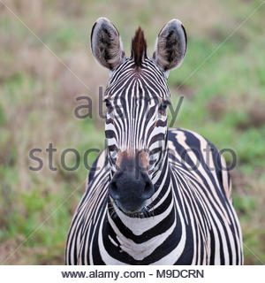 Plains Zebra, Equus quagga, facing the camera, in Kruger NP, South Africa - Stock Photo