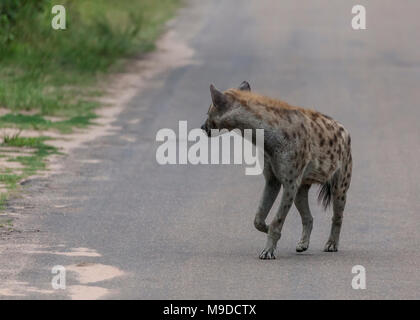 Spotted Hyaena, Crocuta crocuta, looking back as it walks along a road in Kruger NP, South Africa - Stock Photo