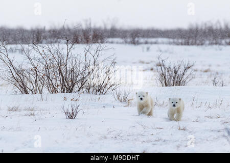 Newly Emerged from Den, Mother and two eight week old cubs - Stock Photo