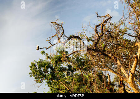 Laughing falcon perching in a treetop in Islets of Granada, Nicaragua - Stock Photo