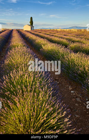 Lavender fields of Valensole with cyperss tree and house in Summer at sunset. Alpes de Haute Provence, PACA Region, France - Stock Photo