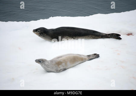 A Leopard Seal (Hydrurga leptonyx) and a Crabeater Seal (Lobodon carcinophaga) resting on an iceberg in Antarctica - Stock Photo