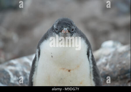 A Gentoo Penguin chick, mid molt motionless on a rocky surface in Antarctica - Stock Photo