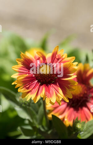 Brightly Coloured Daisy Like Flowers In A Summer Garden London