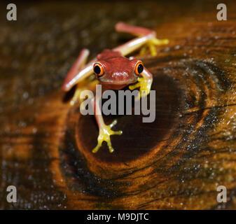 Parachuting red-eyed leaf frog, Agalychnis saltator, juvenile, Tortuguero, Costa Rica
