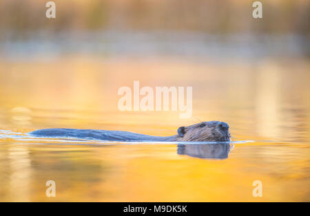 Beaver (Castor canadensis), MN, USA, by Dominique Braud/Dembinsk Photo Assoc - Stock Photo