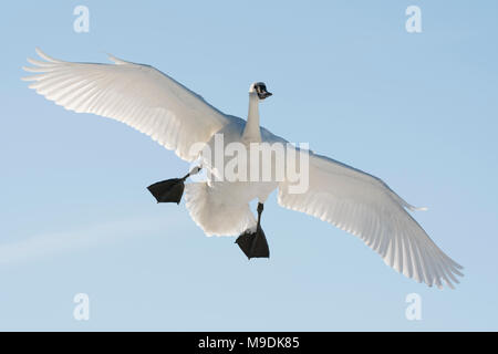 Trumpeter swan (Cygnus buccinator)  landing on the St. Croix River, WI, USA, late January, by Dominique Braud/Dembinsky Photo Assoc - Stock Photo