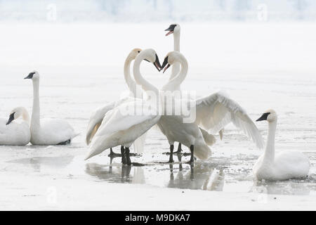 Trumpeter swans (Cygnus buccinator), territorial posturing, St. Croix River, WI, USA, mid January, by Dominique Braud/Dembinsky Photo Assoc - Stock Photo