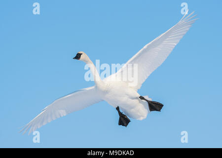 Trumpeter swan (Cygnus buccinator) about to land, WI, USA, by Dominique Braud/Dembinsky Photo Assoc - Stock Photo
