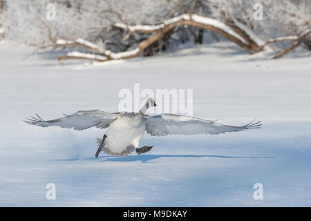 Trumpeter swan (Cygnus buccinator) lifting off of the St. Croix river, WI, USA, by Dominique Braud/Dem binsky Photo Assoc - Stock Photo