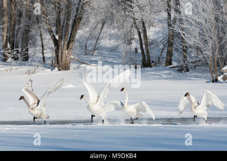 Trumpeter swans (Cygnus buccinator) taking off from the St. Croix river, WI, USA,Late February, by Dominique Braud/Dembinsky Photo Assoc - Stock Photo