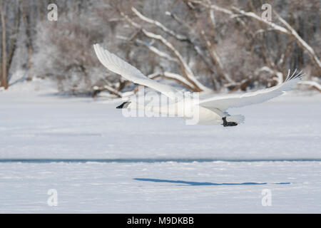 Trumpeter swan (Cygnus buccinator) taking off from St. Croix river, WI, USA, late February, by Dominique Braud/Dembinsky Photo Assoc - Stock Photo