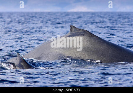 Mother and calf humpback surface together off the coast of Maui, Hawaii. - Stock Photo
