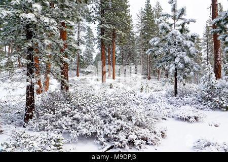 43,042.07674 Winter beauty in open Ponderosa pine trees (Pinus ponderosa) forest, 6 inches white snow blankets red orange green white landscape - Stock Photo