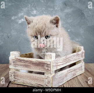 A small lilac Scottish Straight kitten in a wooden box. The cat looks carefully and licks. Vertical view - Stock Photo