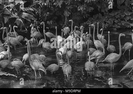 Caribbean flamingo standing in water with reflection. Singapore. An excellent illustration. - Stock Photo