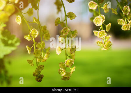 Red currant flowers blooming on a shrub. Pendulous racemes of redcurrant Ribes rubrum blossom close-up. Springtime in the garden. - Stock Photo