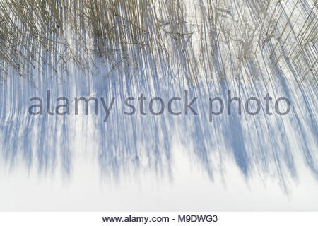 Drone Aerial view of shadows of bare aspen trees on fresh snow. - Stock Photo