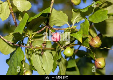 Flat-stalked Spindle Tree, Körsbärsbenved (Euonymus planipes) - Stock Photo